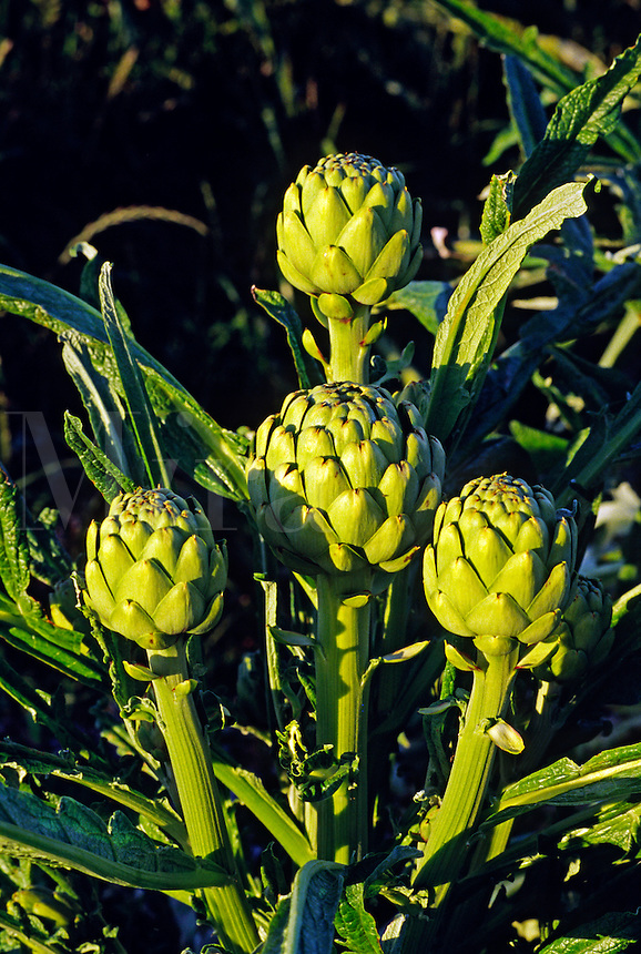 ARTICHOKES ripen in a field in the late afternoon light - MONTEREY, CALIFORNIA