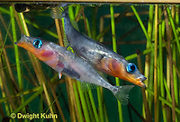 1S17-506z  Male Threespine Sticklebacks defending territories, Mating colors showing bright red belly and blue eyes,  Gasterosteus aculeatus,  Hotel Lake British Columbia