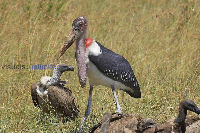 White-backed Vultures feeding on a carcass (Gyps africanus) while a Marabou Stork watches (Leptoptilos crumeniferus), Kenya.