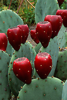 Opuntia fruit, prickly pear cactus