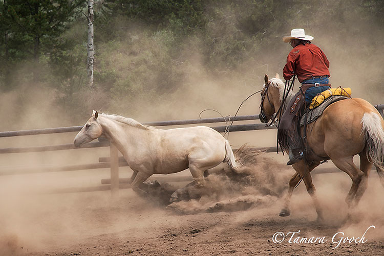 A photo of a cowboy trying to rope a horse.