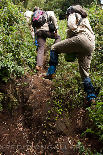 Tourists on trekking trail climbing steep terrain in Volcanoes National Park (Parc National des Volcans), Rwanda.