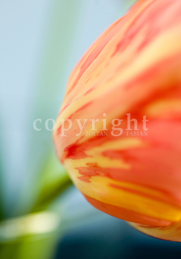 Close-up of a tulip flowerhead with unsharp stem and vase
