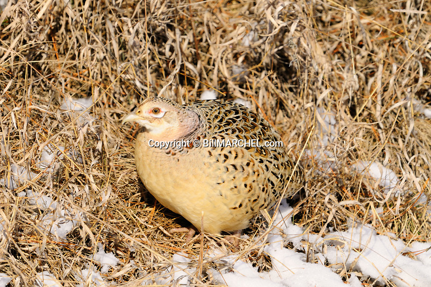 00890-039.19 Ring-necked Pheasant hen displays remarkable crytic coloration as she sits in brown grasses.  Camouflage, camo, hide.