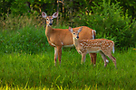 White-tailed doe and her fawn in a northern Wisconsin field.