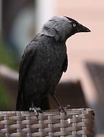 General view of a crow in Speisemarkt, Bingen, Nord Rhein-Westphalia, Germany.<br /> <br /> Gesamtansicht eine Kr&auml;he in Speisemarkt, Bingen, Nord Rhein-Westfalen, Deutschland.