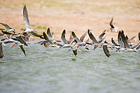 Skimmers, Kazinga Channel, Queen Elizabeth National Park, Uganda, East Africa