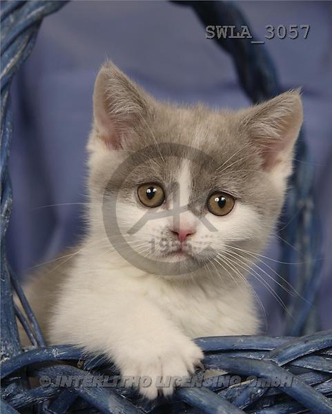 Carl, ANIMALS, photos, kitten, blue basket(SWLA3057,#A#) Katzen, gatos