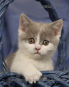 Carl, ANIMALS, photos, kitten, blue basket(SWLA3057,#A#) Katzen, gatos