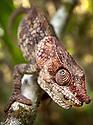 Short-horned chameleon (Calumma brevicornis) walking along branch, looking upwards, tropical rainforest, Andasibe-Mantadia National Park, Madagascar.