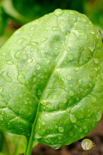 Spring spinach leaf with water droplets.