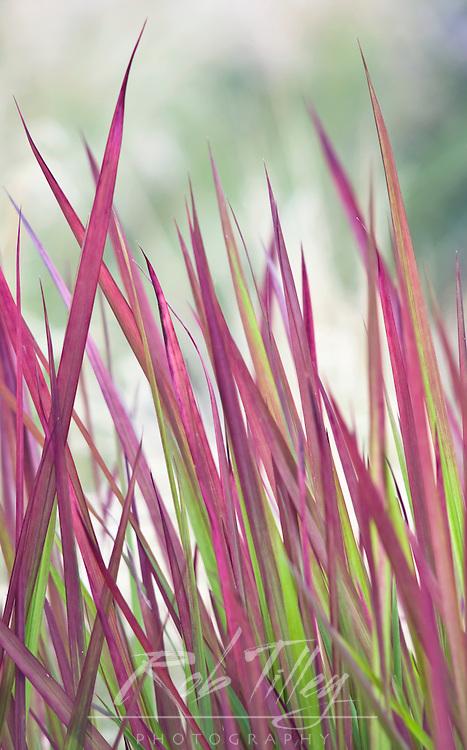 USA, WA, Bellevue, Bellevue Botanical Garden, Ornamental Grass