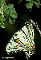 SB01-001d  Butterfly - Tiger Swallowtail - Pterourus glaucus