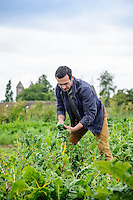 Troy Scott Smith in the Vegetable Garden at Sissinghurst harvesting Chard