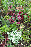 Leafy salad greens vegetable garden with amaranth, gourmet greens, perennials, showing beautiful combinations of plants