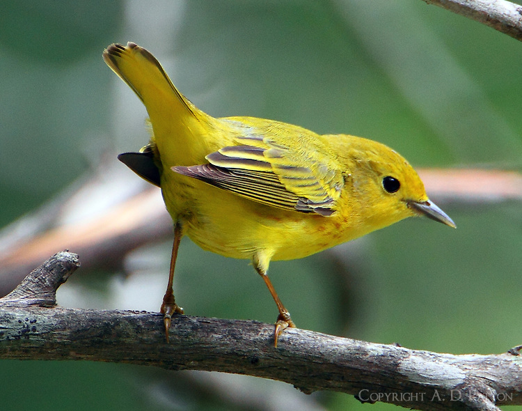 Adult female yellow warbler
