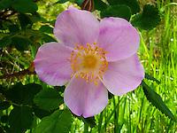 Evening Primrose a Montana wildflower