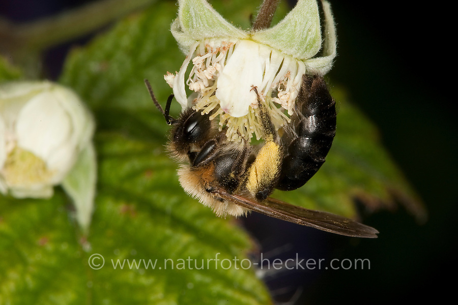 Sandbiene, Sand-Biene, Andrena nitida, Weibchen beim Blütenbesuch auf Himbeere, Nektarsuche, Blütenbestäubung, Pollenhöschen, Andrenidae, Sandbienen, mining bees, burrowing bees, mining bee, burrowing bee