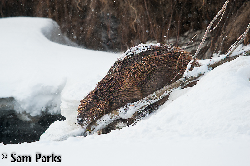 Beaver with willow boughs during winter. Yellowstone National Park, Wyoming.
