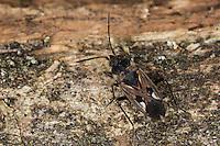 Gemeine Bodenwanze, Rhyparochromus vulgaris, Bodenwanzen, Langwanzen, Lygaeidae, milkweed bug, seed bug, milkweed bugs, seed bugs