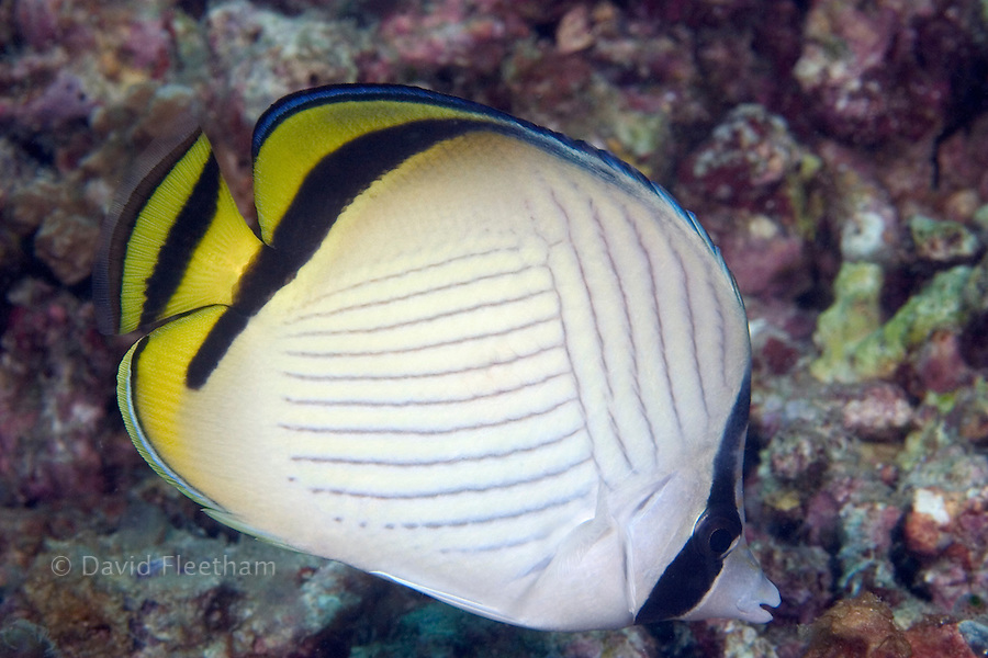 Vagabond butterflyfish, Chaetodon vagabundus, reach nine inches in length and are often found in pairs.  Malaysia.