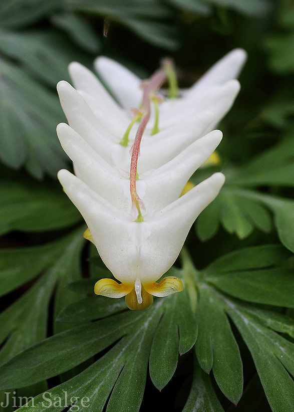 A row of Dutchman's Breeches, an ephemeral wildflower, in the White Mountains of New Hampshire