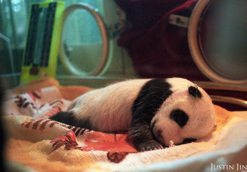 One-month-old female panda Lun Lun lies in its incubator. ..Photo taken in Chengdu, China in 1997. The picture is part of a photo and text documentary on the artificial insemination of giant pandas by Justin Jin. For more information, email justin@justinjin.com