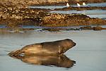 Elephant seal moving down beach