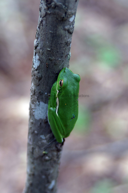 The green tree frog will eat anything it can swallow.  During the day, it tries, but doesn't always succeed, to find a camoflaged resting place.