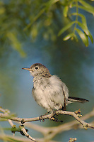 Blue-gray Gnatcatcher, Polioptila caerulea, juvenile, Willacy County, Rio Grande Valley, Texas, USA, June 2006