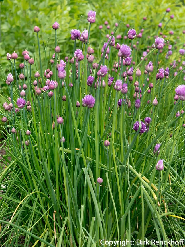 Heilpflanzen -Garten, Fa. A. Vogel in Roggwil, Kanton Thurgau, Schweiz<br /> Garden forf Naturophatic Medicine, A. Vogel in Rogwil, Canton Thurgau, Switzerland