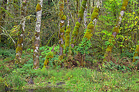 ORCAN_D252 - USA, Oregon, Cascade Range, Wildwood Recreation Site, Lush grove of red alder thrives in seasonally flooded area.