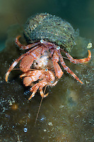 Hermit crab, Pagurus pubescens, waiting to mate, Lofoten, Norway,