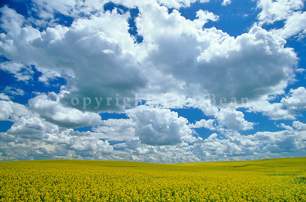 Field of canola with golden flowers under sky of cumulus clouds, Mountrail County, North Dakota, AGPix_0257.