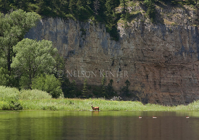 Mule Deer doe crossing the Smith River in Montana