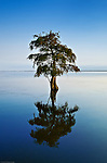 Lone cypress tree in water. Taxodium distichum