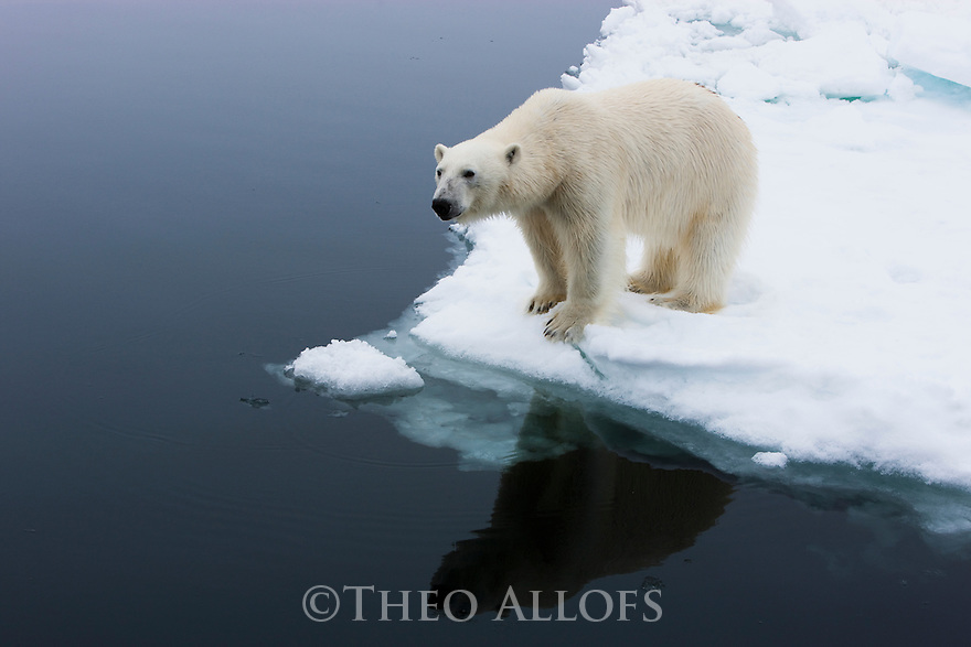 Norway, Svalbard, male polar bear on ice floe