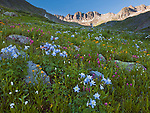 San Juan Mountains, CO<br /> American Basin featuring Colorado columbine (Aquilegia coerulea), sneezeweed (Dugaldia hoopesii) and paintbrush (Castilleja sp)  in alpine wildflower meadows beneath Handies Peak at sunrise