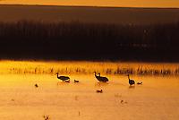 Sandhill Crane (Grus americana) silouhettes at sunset.