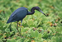 Little Blue Heron, Egretta caerulea,adult on Water Lettuce, Corkscrew Swamp Sanctuary, Florida, USA