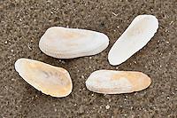 Amerikanische Bohrmuschel, Engelsflügel, Schale, Muschelschale am Strand, Spülsaum, Petricola pholadiformis, Petricolaria pholadiformis, American piddock, false angelwing
