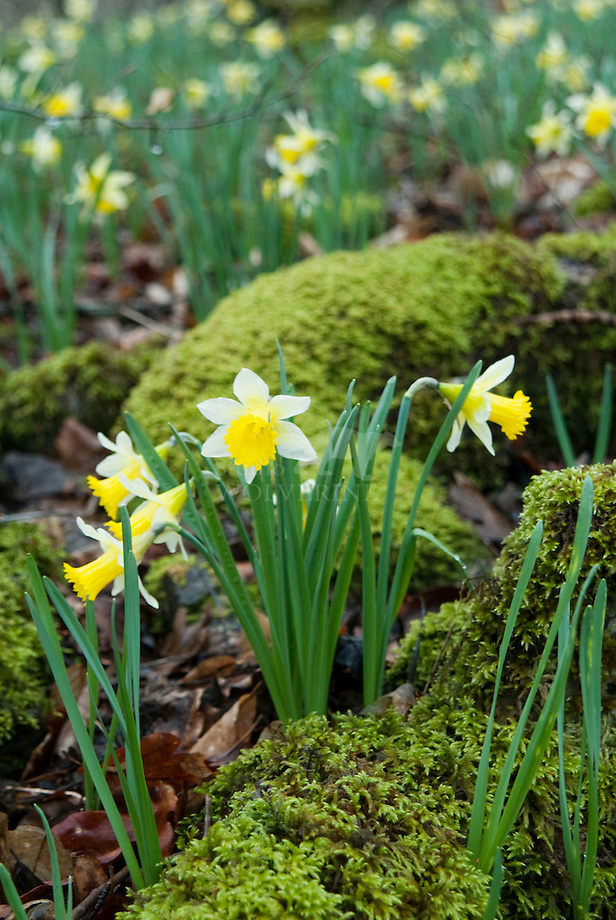 Wilde narcis (Narcissus pseudonarcissus)