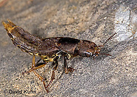 "0723-07xx  Rove Beetle ""Carrion beetle"" - Platydracus maculosus © David Kuhn/Dwight Kuhn Photography"