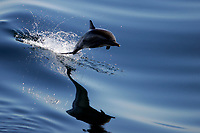 Long-beaked Common Dolphin, Delphinus capensis, in the lower Gulf of California, Sea of Cortez, Pacific Ocean), Mexico.