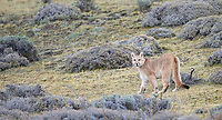 One of the puma families we saw included a mother with two seven-month-old cubs.  Here is one of the cubs.