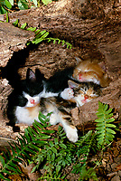 Three kittens sleeping in hollow log, USA