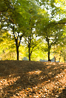 Defocused (Soft Focus) View of Trees and Early Fall Foliage in Central Park