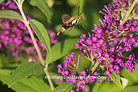04005-00315 Snowberry Clearwing (Hemaris diffinis)  on Butterfly Bush (Buddleia davidii) Marion Co.  IL