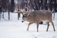 White-tailed Deer (Odocoileus virginianus), buck in snow, Minnesota, USA