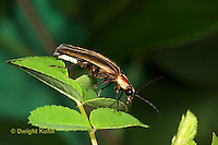 1C24-530z  Firefly Adult - Lightning Bug - Photuris spp.